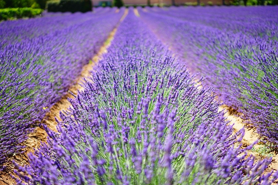 Lavender oil- aromatherapy guide