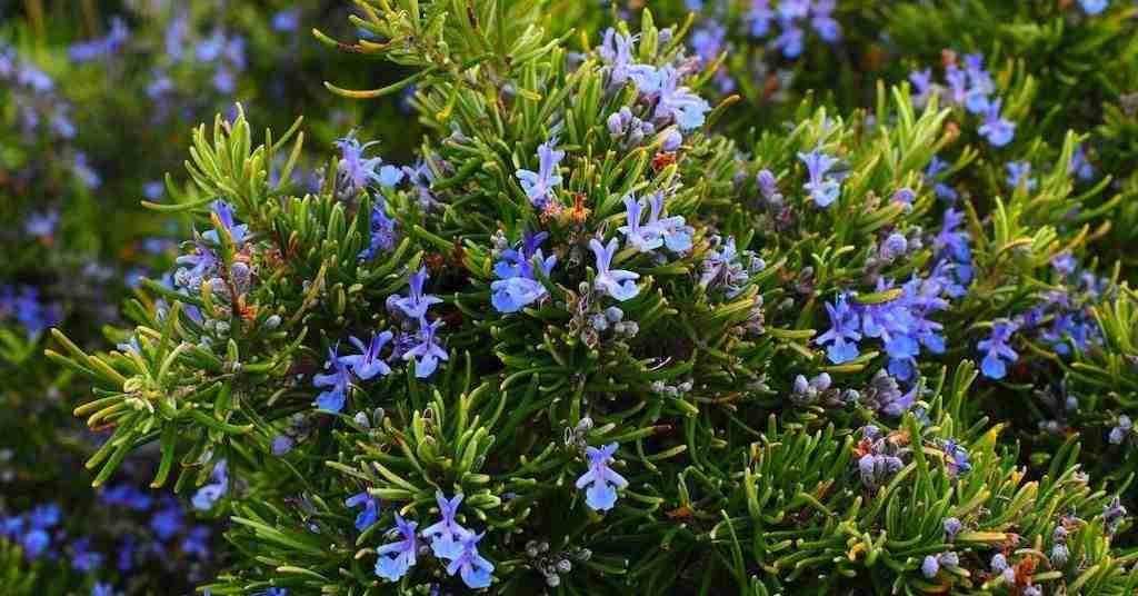 Rosemary Fresh Herbs