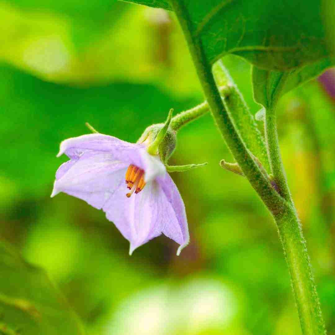 Aubergine/Eggplant flower